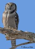 20100222 142 SERIES-Northern Hawk Owl2a.jpg