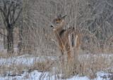 20101213 048 White-tailed Deer - fawn HP.jpg