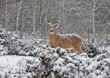 20110108 111 SERIES - White-tailed Deer HP.jpg