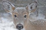 20110107 098 SERRIES-White-tailed Deer HP.jpg