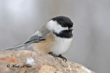 20110107 027 SERIES - Black-capped Chickadee HP.jpg