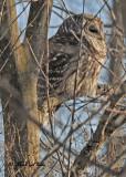 20110117 033  Barred Owl.jpg
