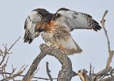 20110131 646 Red-tailed Hawk2 HP.jpg