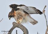 20110131 647 Rerd-tailed Hawk2 HP.jpg