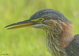 20120815 256 Green Heron.jpg