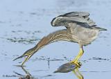 20120815 062 Green Heron.jpg