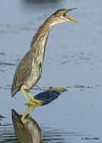 20120815 032 Green Heron.jpg
