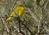 20120915 082 Yellow Warbler.jpg