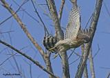 20120917 055 Coopers Hawk.jpg