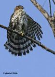 20120917 012 1c  Cooper's Hawk.jpg
