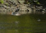 20120915 035 Common Merganser.jpg