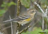 20120915 077 Yellow-rumped Warbler.jpg