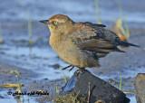 20120924 109 Rusty Blackbird2.jpg