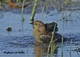 20120924 088 SERIES -  Rusty Blackbird.jpg
