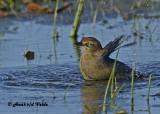 20120924 092 SERIES - Rusty Blackbird xxx.jpg