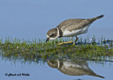 20120924 630 Semipalmated Plover.jpg