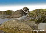 20120929 041 Semipalmated Plover.jpg
