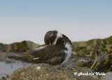 20120929 051 1r4 Semipalmated Plover Dx .jpg