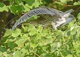 20120816 234 Green Heron.jpg