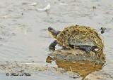 20120717 118 1c1 Blanding's Turtle.jpg