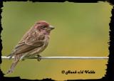 20121006 252 SERIES - Purple Finch2.jpg