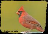 20121006 261 Northern Cardinal2.jpg