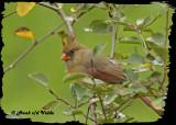 20121006 304 SERIES - Northern Cardinal.jpg