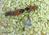20120717 160 Small Milkweed Bugs.jpg