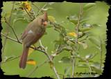 20121006 309 Northern Cardinal2.jpg