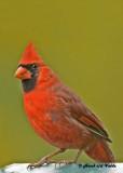 20121006 259 Northern Cardinal.jpg
