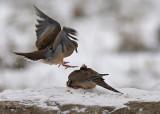 20071128 225 Mourning Doves SERIES.jpg