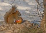 20080131 D200 009 Red Squirrel SERIES.jpg