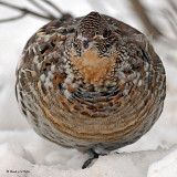 20071229 058 Ruffed Grouse SERIES.jpg