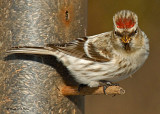20080112 021 Common Redpoll.jpg