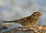 20080110 075 Am Tr Sparrow.jpg