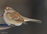 20080102 187 Am Tr Sparrow.jpg