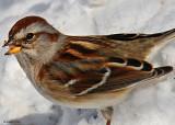 20080219 D300 014 Am Tr Sparrow.jpg