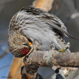 20080220D300 050 Common Redpoll.jpg
