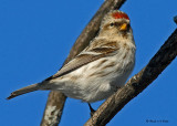 20080112 041 Common Redpoll SERIES.jpg