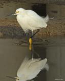 20080228 Snowy Egret - Mexico 3 517.jpg