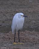 20080228 Snowy Egret - Mexico 3 545.jpg