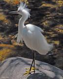 20080228 Snowy Egret - Mexico 3 819.jpg