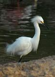 20080228 Snowy Egret1 - Mexico 3 449.jpg