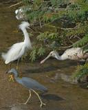 20080223 S Egret, LB Heron, Roseate Spoonbill.jpg