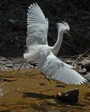 20080228 Snowy Egret - Mexico 3 164.jpg