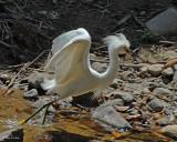 20080228 Snowy Egret - Mexico 3 169.jpg