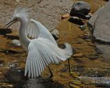 20080228 Snowy Egret - Mexico 3 266.jpg