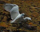 20080228 Snowy Egret - Mexico 3 843.jpg