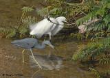 20080223 Snowy Egret & LB Heron (Mexico) 1 516.jpg