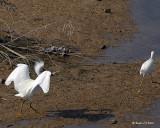 20080223 Snowy Egret (Mexico) 1 489.jpg